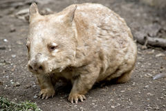 Wombat. This is a close up of a wombat Royalty Free Stock Photography