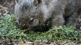Wombat close up stock video
