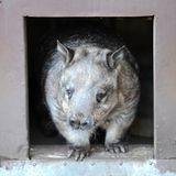 Wombat. A close up shot of an Australian Wombat Royalty Free Stock Images