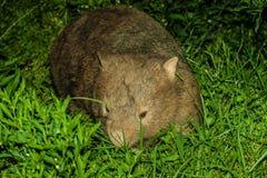 Wombat común Fotografía de archivo