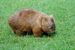 Wombat commun Image libre de droits