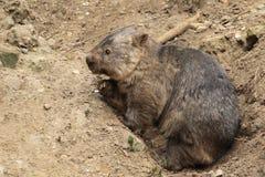 Wombat comum Imagem de Stock