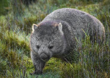 Wombat comum fotografia de stock royalty free