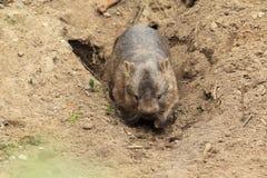 Wombat comune fotografie stock libere da diritti
