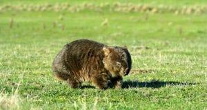 Wombat comune nel campo Fotografia Stock