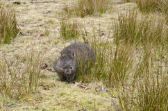 Wombat in Cradle Mountain National Park, Tasmania Royalty Free Stock Photos