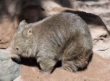 Wombat. Cute native Australian wombat digging Stock Photos