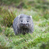 Wombat during the day Stock Image