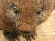 Wombat dirty nose Stock Image