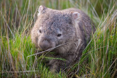 Wombat eating Royalty Free Stock Images