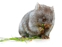 Wombat eating. Little wombat female 3 months while eating the grass. Isolated on white background. Family of Wombat, mammal, marsupial herbivore that lives in Stock Photography