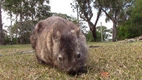 Wombat eating with noises of australian wildlife stock video