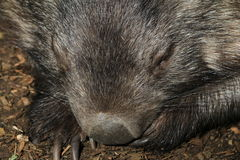 Wombat Face. Australian native animal, a common wombat Stock Image