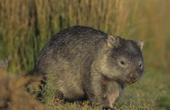 Wombat in field Stock Photography