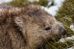 Wombat foraging in the snow at Cradle Mountain National Park, Tasmania. Close up of a wombat foraging in the snow at Cradle Mountain, Tasmania royalty free stock photo
