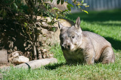 Wombat. Full body shot portrait of Australian wombat on grass Royalty Free Stock Photography