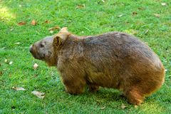 Wombat on green grass. stock images