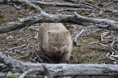 Wombat in het eiland nationaal park van Maria, Tasmanige, Australië stock foto's