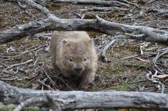 Wombat in het eiland van Maria, Tasmanige, Australië royalty-vrije stock afbeeldingen
