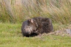 Wombat in het Nationale Park van Narawntapu Royalty-vrije Stock Afbeeldingen