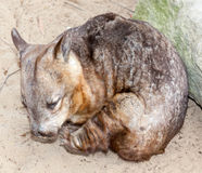Wombat with itch Stock Photography