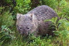 Wombat Stock Images