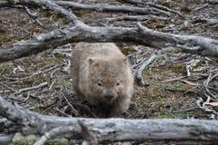 Wombat in maria island national park, tasmania, Australia stock photos