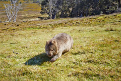 Wombat on the moove. Wombat crossing grasslands in the Cradle Mountain Lake St Clair National Park in Tasmania, Australia Royalty Free Stock Images