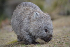 Wombat na Maria wyspie Zdjęcia Royalty Free