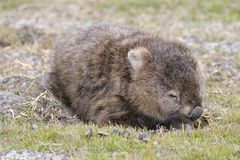 Wombat in Narawntapu National Park Stock Photos