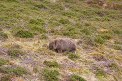 Wombat. A native Australian animal Stock Images