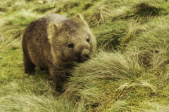 Wombat. A Native Australian nocturnal Marsupial Stock Photo