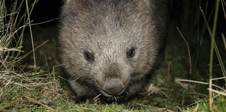 Wombat at night Royalty Free Stock Image