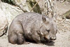 Wombat olfateado melenudo foto de archivo
