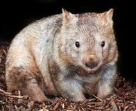 Wombat olfateado melenudo Foto de archivo libre de regalías