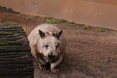 Wombat olfateado melenudo Imagenes de archivo