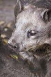 Wombat olfateado melenudo Fotos de archivo