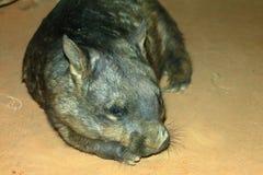 Wombat Peloso-Cappottato del sud Fotografia Stock Libera da Diritti