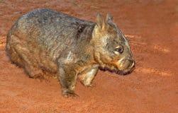 Wombat peloso del radiatore anteriore Fotografie Stock Libere da Diritti