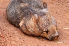 Wombat Peludo-Cheirado do sul Fotografia de Stock