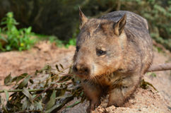 Wombat. Quadrupedal marsupials, native to Australia walks in its natural habitat.Front view Royalty Free Stock Photo