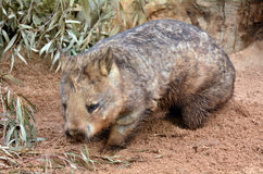 Wombat Royalty Free Stock Image