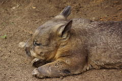 Wombat. Resting in the dirt Royalty Free Stock Images