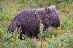 Wombat Resting. Wombat (latin Vombatiformes Vombatidae) in undergrowth in the Australian bush Stock Photography