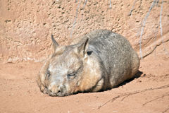 Wombat. The wombat is resting in the sun Stock Photos
