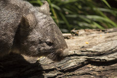 Wombat showing teeth. Australian Common Wombat eating showing long teath Stock Photo