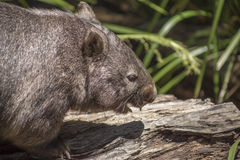 Wombat showing teeth. Australian Common Wombat eating showing teath Royalty Free Stock Photo
