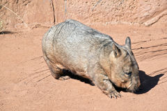 Wombat. This is a side view of a common wombat Stock Images