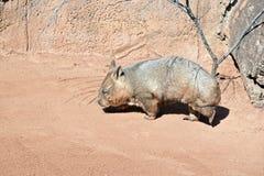 Wombat Stock Photography