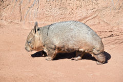 Wombat Royalty Free Stock Images